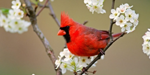 Cardinal-Birds-wallpaper