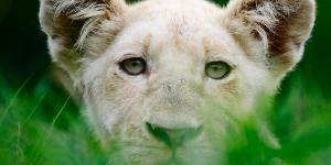 beli lav